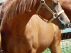 yearlings-034tinseltown-filly-re